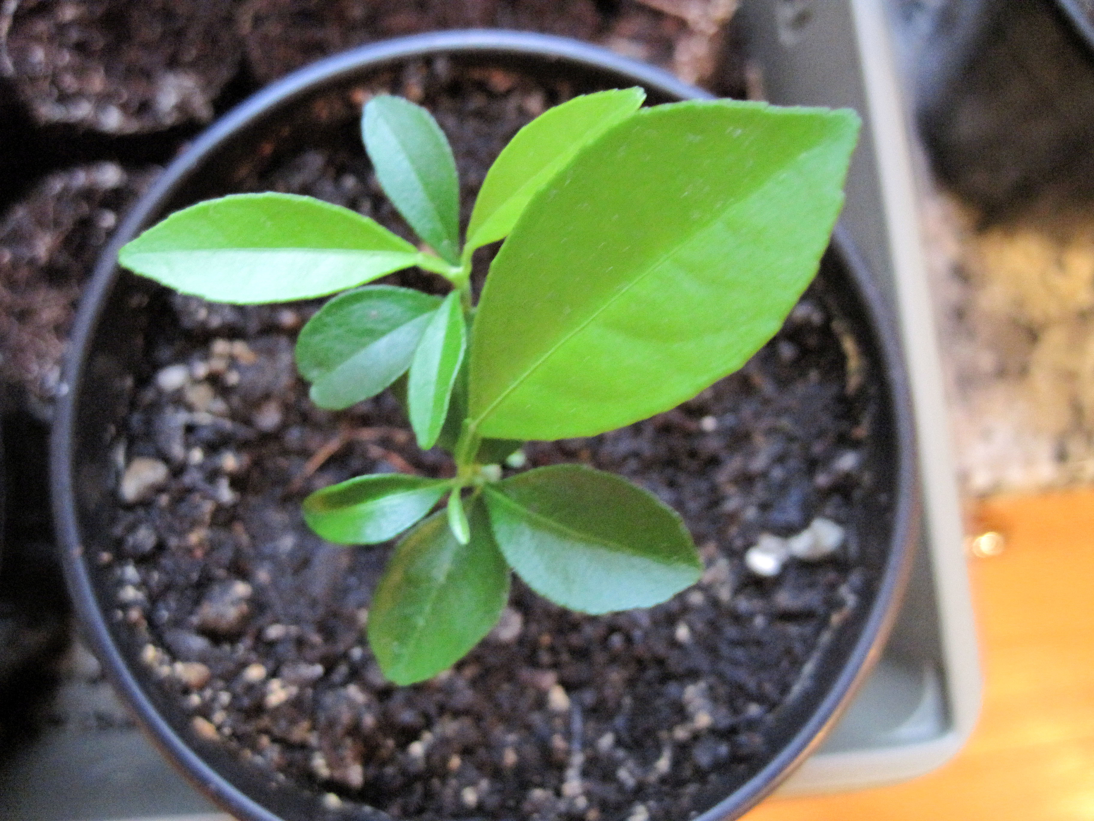 Apricot imperfect urban farm for What does a lemon tree seedling look like